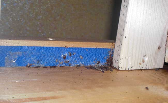 Bed Bugs - Urban Pest Control Poole, Dorset